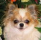 chihuahua puppies for sale | chihuahua breeder | chihuahua puppies | chihuahua kennels